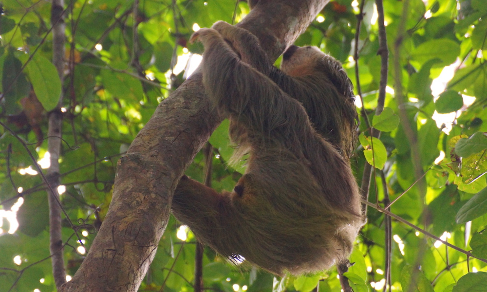 Niedliches Faultier zum Greifen nahe - Cahuita Nationalpark, Costa Rica