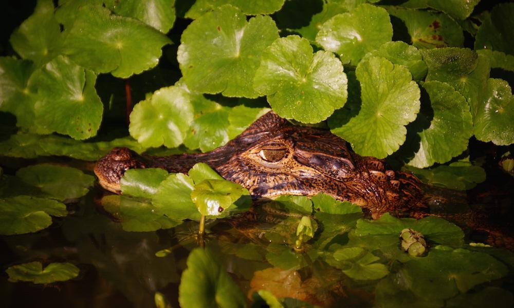 Krokodil pózol a kamerának - Tortuguero nemzeti park, Costa Rica