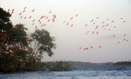 Rote Ibise, Mangrovensümpfe und Sanddünen beim größten Flußdelta in Südamerika