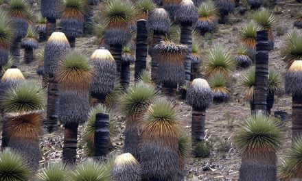 """Die Puya Raymondii-Pflanze, die """"Königin der Anden"""" (Bildbericht)"""